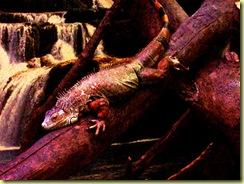 2010.04.27-031 iguane vert