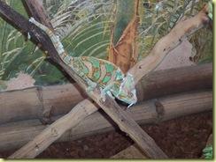 2010.04.27-027 caméléon casqué du Yemen