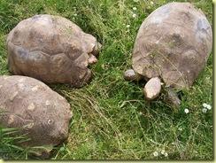 2010.04.27-009 tortue sillonnée