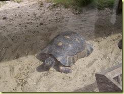 2010.04.27-004 tortue marginée