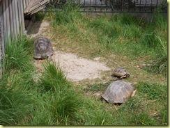 2010.04.27-007 tortue grecque