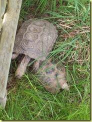 2010.04.27-003 tortue à tête jaune