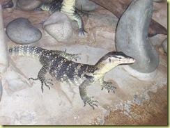 2010.04.27-026 iguane noir