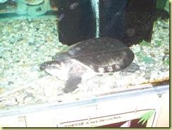 2010.04.27-013 tortue à nez de cochon