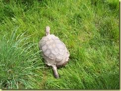 2010.04.27-002 tortue brune